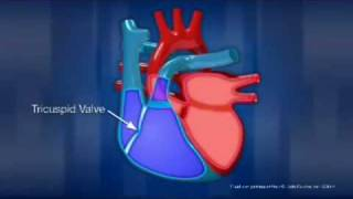 How the human heart work