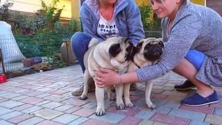 💘Неотразимый! Irresistible! Мопс и его невеста. Pug and his bride.