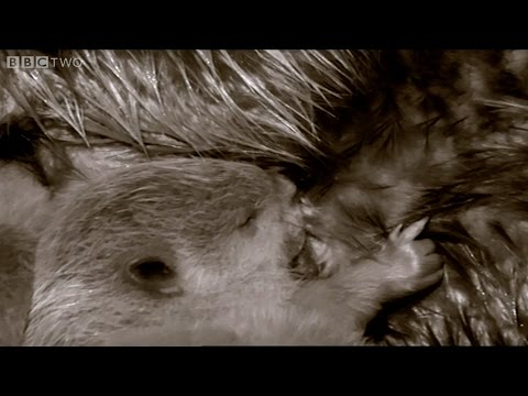 Baby beavers settle into their lodge - Beavers Behaving Badly: Natural World - BBC Two