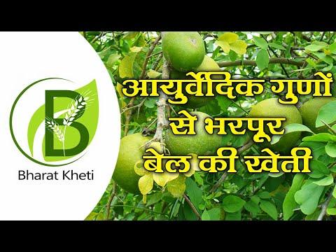 आयुर्वेदिक गुणों से भरपूर बेल की खेती   Bharat Kheti   Wood Apple Farming
