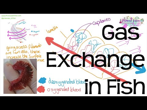 Gas Exchange In Fish - Countercurrent Principle And Head Dissection | Revision For Biology A-Level