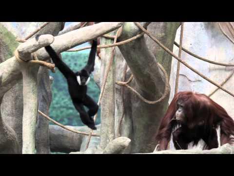 Gibbon and orangutan meet, hang at Brookfield Zoo