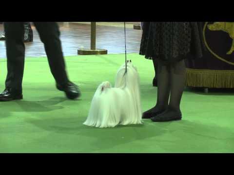 Maltese Westminster Kennel Club Dog Show 2016