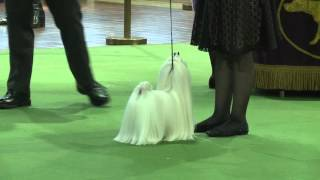 Maltese Westminster Kennel Club Dog Show 2016