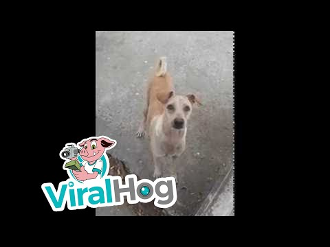 Mama Dog Begs, Brings Food Back to Pups