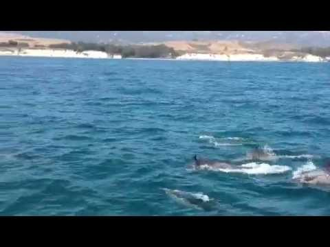 Dolphins Eating Squid For Lunch.