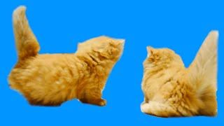 "Cute KItten butts【マンチカンズ 】""子猫のお尻特集"""