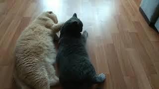 Вязка серой Шотландской кошки