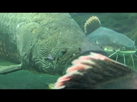 Ikan Raksasa Arapaima, Wajahnya Ada Ukiran seperti Motif Batik, INDONESIA