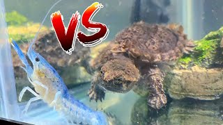 GODZILLA TURTLE EATS MY BABY BLUE LOBSTER! *Epic Battle Royale*