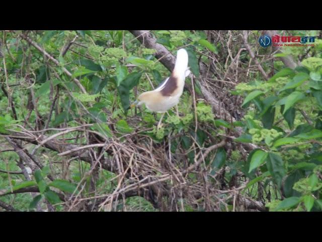 बकुल्लो  गुड बनाउन  झिँजा दाउरा ओसार-पोसार गर्दै  || Bird Build a Nest
