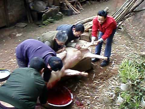 Pig Slaughter  in Tong Nan, China