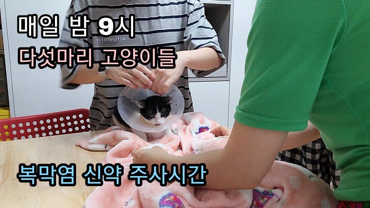매일 밤 9시 다섯마리 고양이들 복막염 신약 주사시간