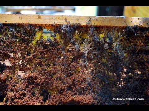 understanding-wax-moths-in-beekeeping