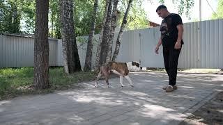 Вывих сустава у собаки