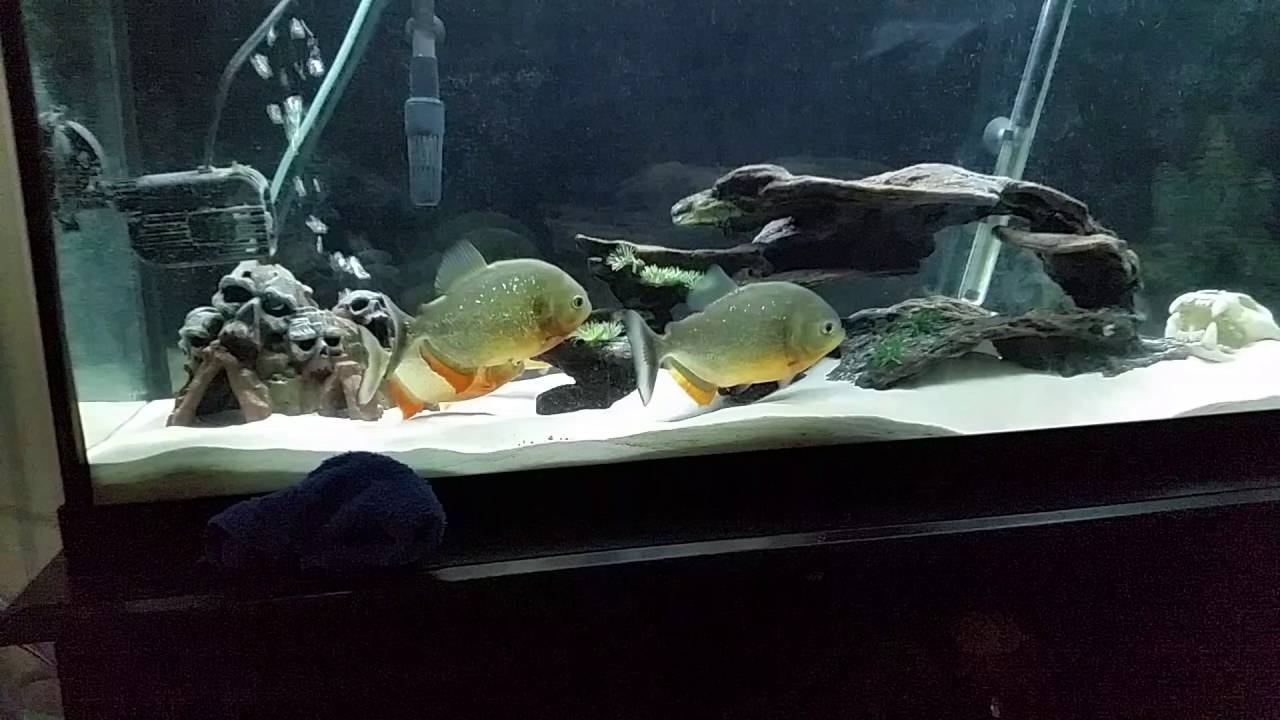 Red Belly Piranhas/Pygocentrus nattereri for SALE!!