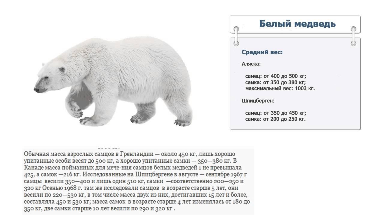 Картинки по запросу Сколько весит белый медведь сейчас