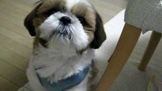 Listen carefully to my shih tzu groaning for food. My shih tzu is h...