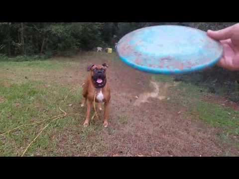 Awesome Boxer Dog Catching Frisbee!!!