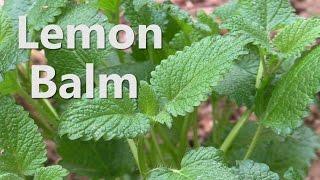 Survival Medicine - Lemon Balm (Melissa officinalis)