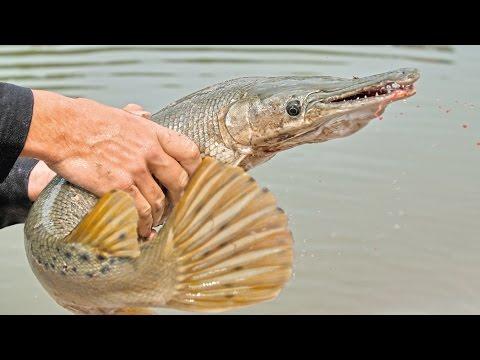 River Alligator Gar in 4K Ultra HD - First Catch Ever!