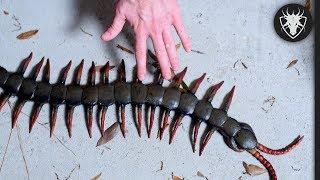 Fique longe desses insetos - Os insetos mais mortais do Mundo