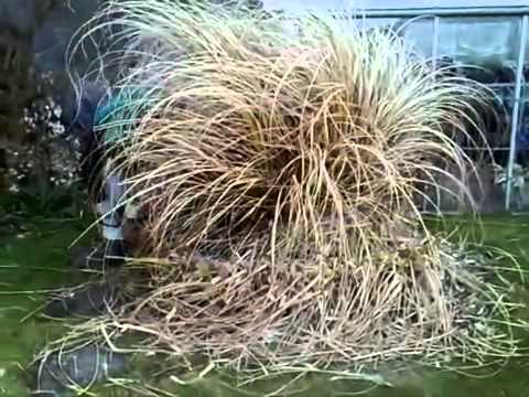 Removing your pampas grass on the outer banks youtube for Easy ornamental grasses