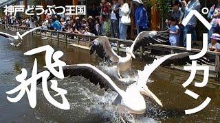 神戸市中央区『神戸どうぶつ王国』 大きな翼を羽ばたかせ、水面を走るよ...