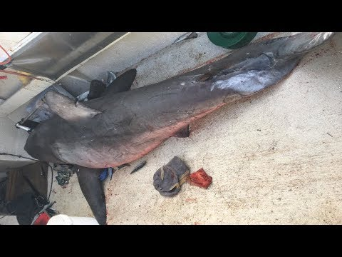 Thumbnail: 3m long & 200kg Great White Shark JUMPS into fisherman's 4.5m Boat in Australia