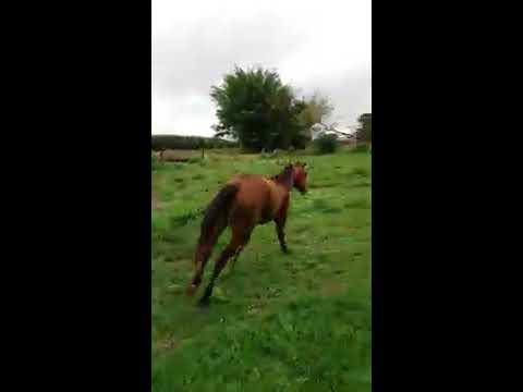 Plantio do capim tifton para cavalos