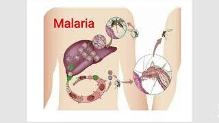 az emberi testben a malária plazmodia szaporodik