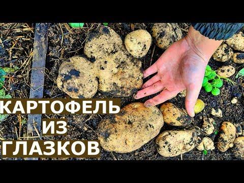 Урожай КАРТОШКИ В ЯЩИКАХ. Картофель из ГЛАЗКОВ.