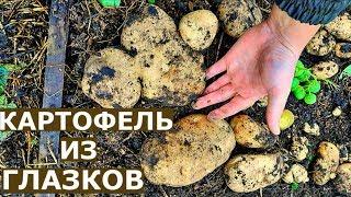 Урожай КАРТОШКИ В ЯЩИКАХ Картофель из ГЛАЗКОВ