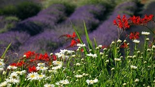 Portland Lavender Farms 201606 4K UHD