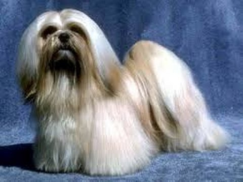 Lhasa Apso - Dog Breed