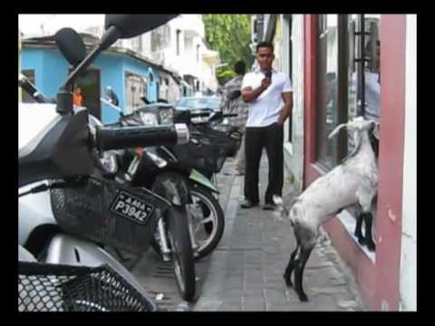 "Black [Goat] Dawn: Maldives police ""arrest"" baby goat!"