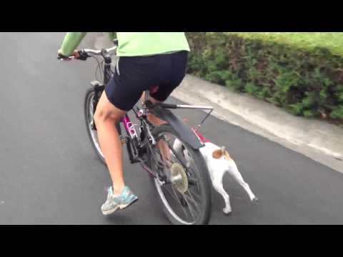 Jack Russell running with walky dog bicycle leash and web master harness