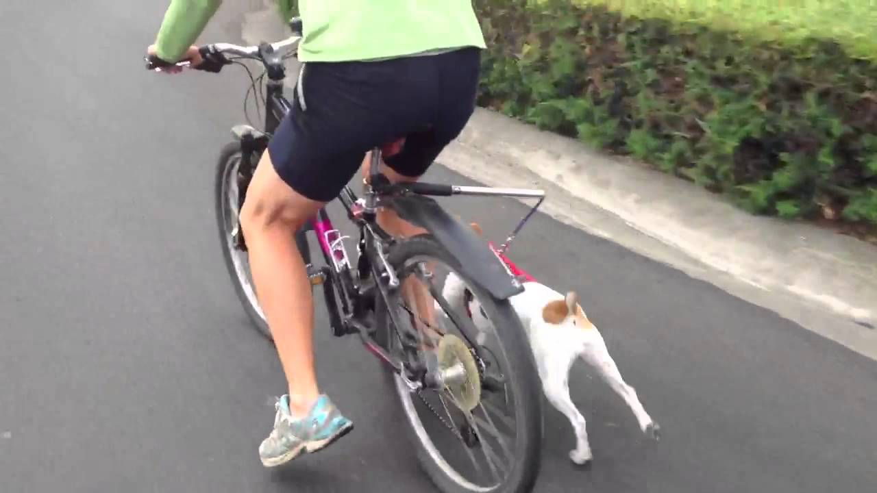 Jack Russell Running With Walky Dog Bicycle Leash And Web
