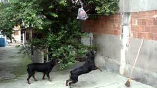 Cadelas Rottweiler do Sardinha