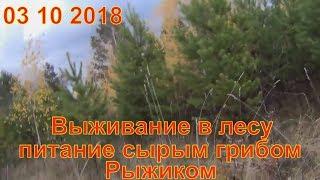 Грибы рыжики сбор в лесу 03 10 2018 поход в лес Выживание в лесу лес природа Сбор грибов тихая охота