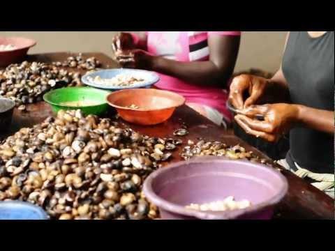 Cashew Nut Processing - Peace Corps Ghana