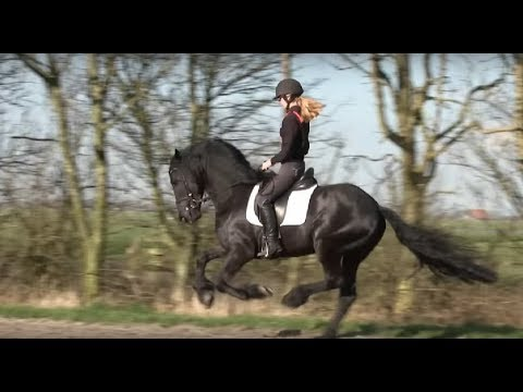 Friesian Horse Apollo A Four Year Old Stallion.  Fast Gallop