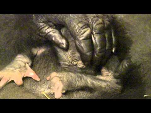 Gorilla Asha with Newborn - Cincinnati Zoo