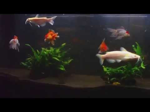Fancy Goldfish , Albino Channel Cat Fish And Weather Loach