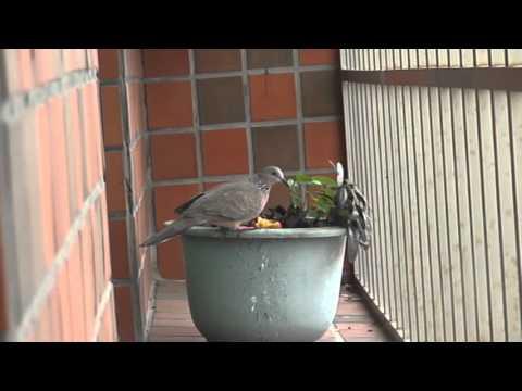 窗台上的訪客 15102305 (珠頸斑鳩)(original)