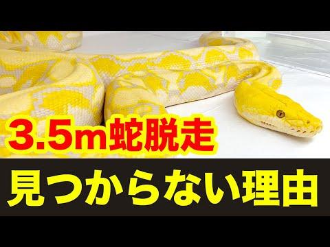 横浜市で脱走した3.5mのニシキヘビが見つからない理由が衝撃的
