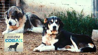 Греческий мастиф. Планета собак 🌏 Моя Планета