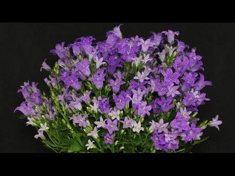 Campanula portenschlagiana - Glockenblume, Bellflower