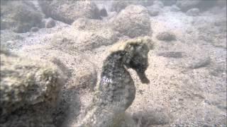 Hawaiian Seahorses