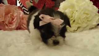 Athena Shorkie (shih Tzu And Yorkie Mix) Puppy Video 1